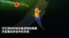 裸海蝶可以养殖吗,它的天敌是什么