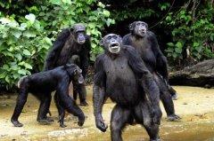 黑猩猩为什么不怕艾滋病毒,它们还有可能继续进化成人类吗?